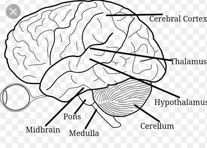 easy brain diagram wiring same iron traktor steps to draw human class 10 ncert write down each step download jpg