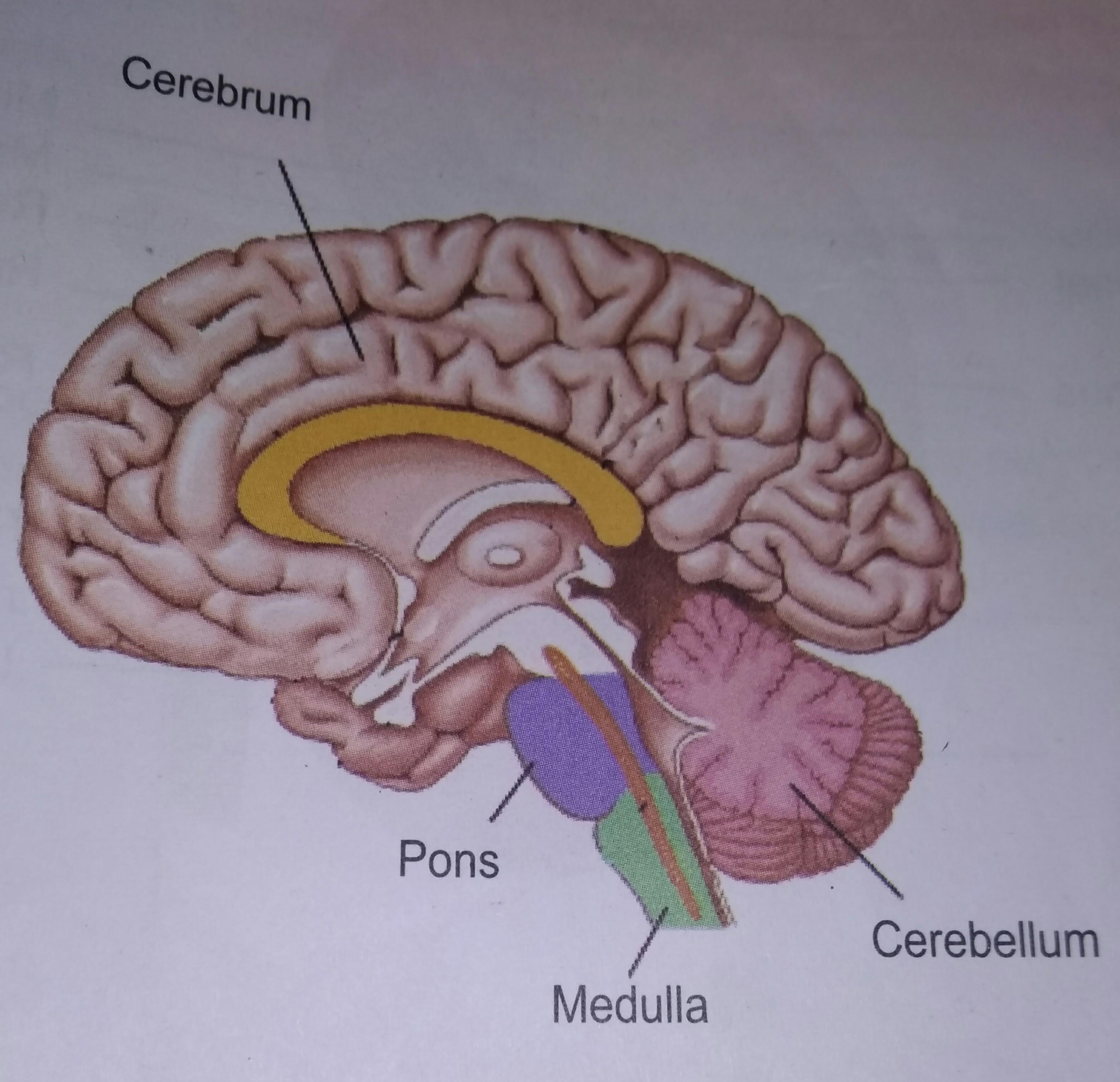 Brain Diagram Easy Method Diagram