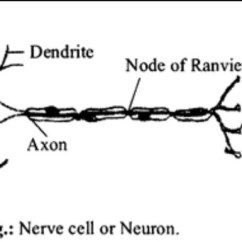 Labelled Diagram Of Nerve Cell 220 Stove Plug Wiring Draw A Neuron Brainly In Download Jpg