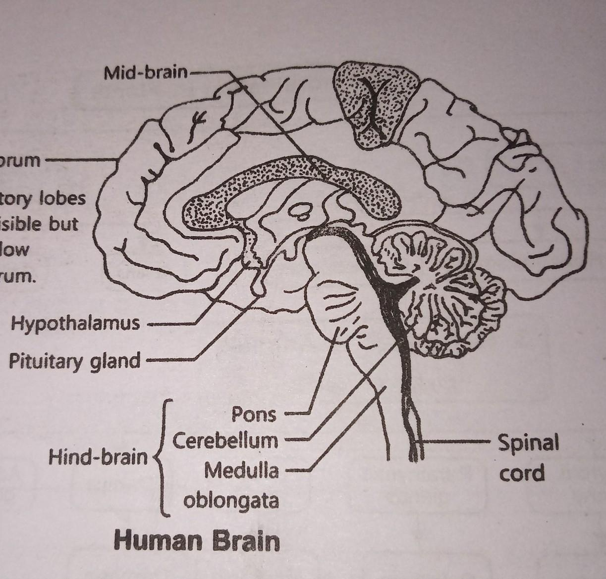 Draw A Well Labelled Diagram Of The Human Brain And