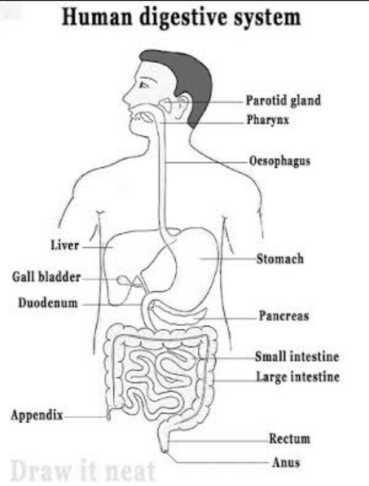Sketch and label a diagram of the digestive system and