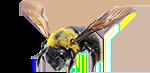 carpenter-bees2