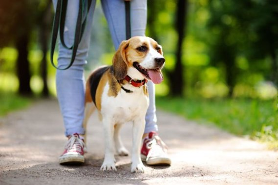 Low Maintenance Dogs Beagles Are Easy Going Companions