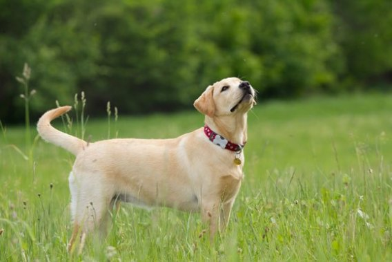 Labrador Retrievers -Low Maintenance Dogs
