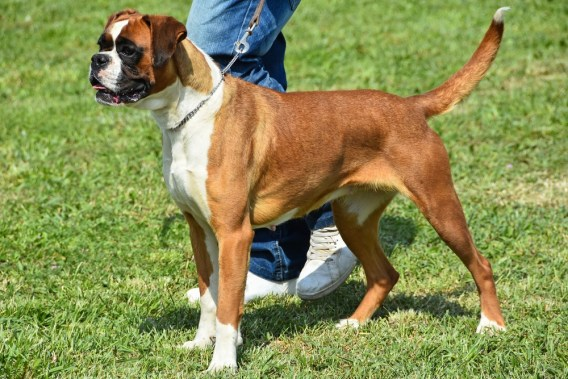 how-long-do-boxers-live