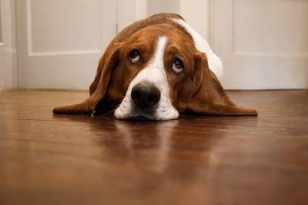 Basset Hound Dogs That Can Be Left Alone