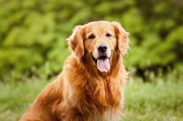 Golden Retriever Dogs That Can Be Left Alone