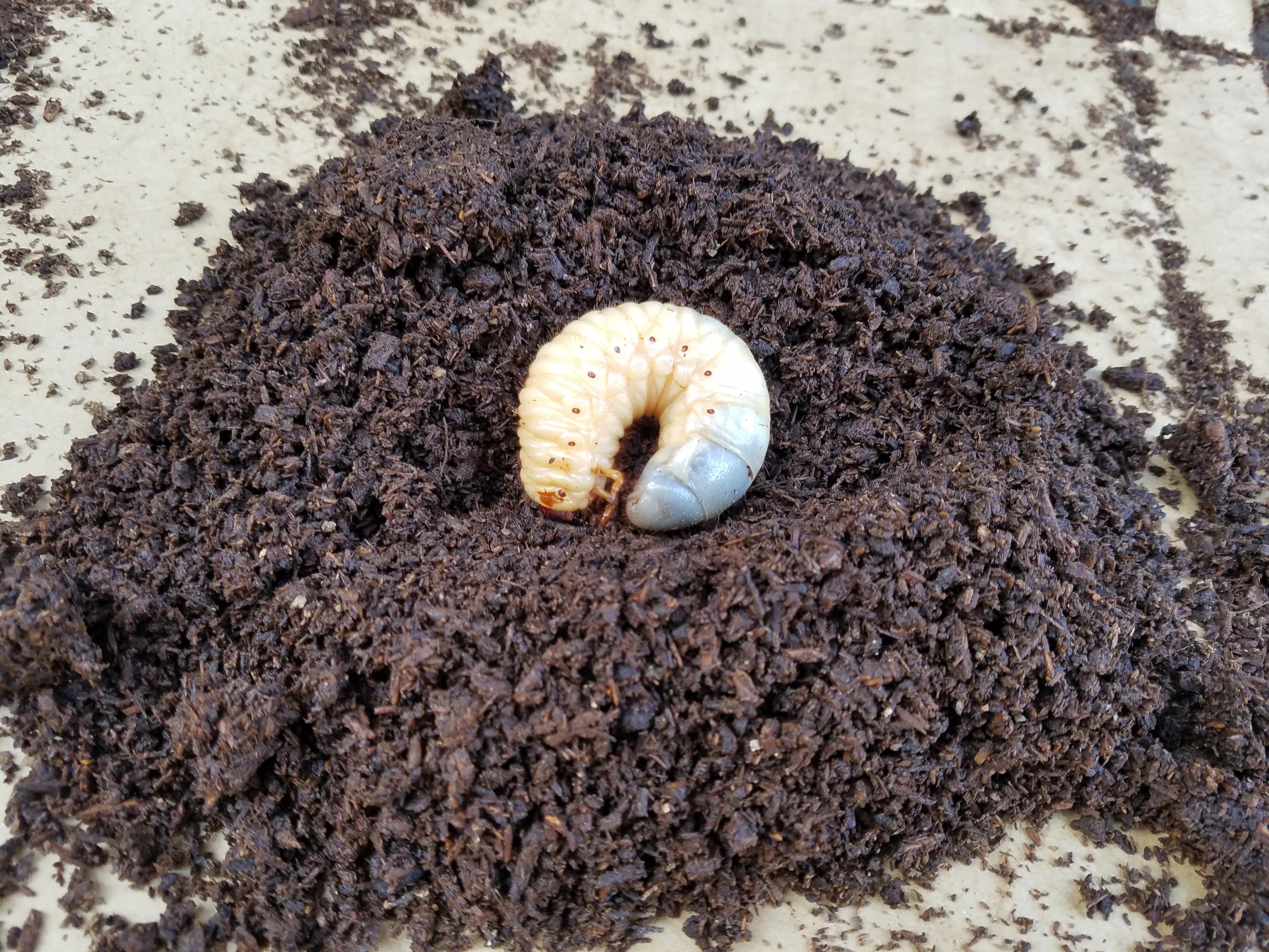 幼虫 から カブトムシ 出る 土