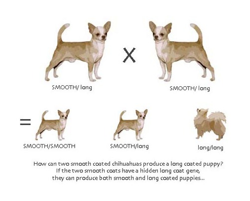 chihuahua information