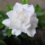 クチナシの鉢植えで花が咲かない蕾が落ちるのは?原因と対策について