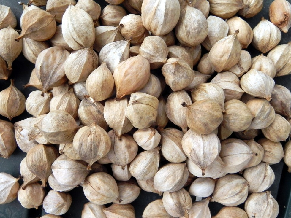 pile of hickory nuts