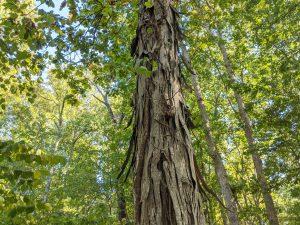 Shellbark hickory tree bark