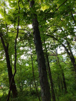Shagbark Hickory Tree