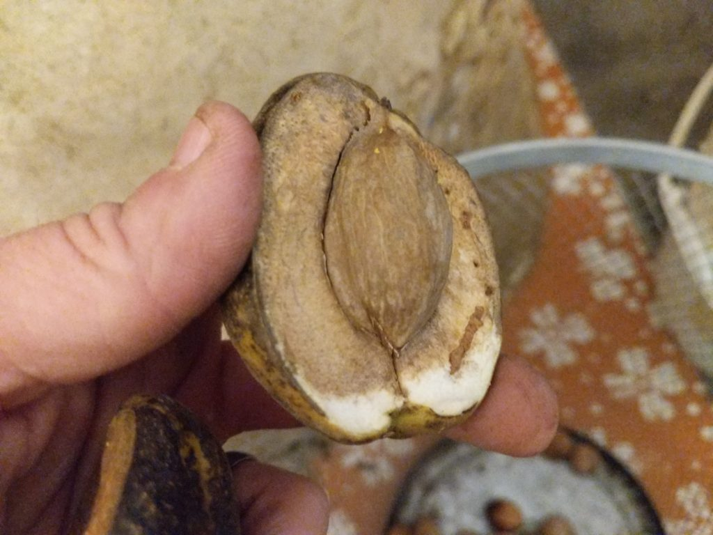 shellbark hickory nut in hull