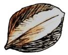 drawing of hickory nut
