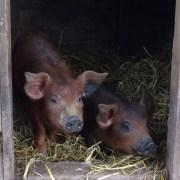 Pigs on Hicks Farm