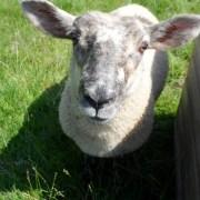 Pet Lamb