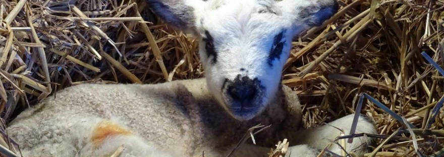 Spring Lamb at Hicks Farm