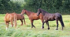 horses-in-the-netherlands--farm_19-109508