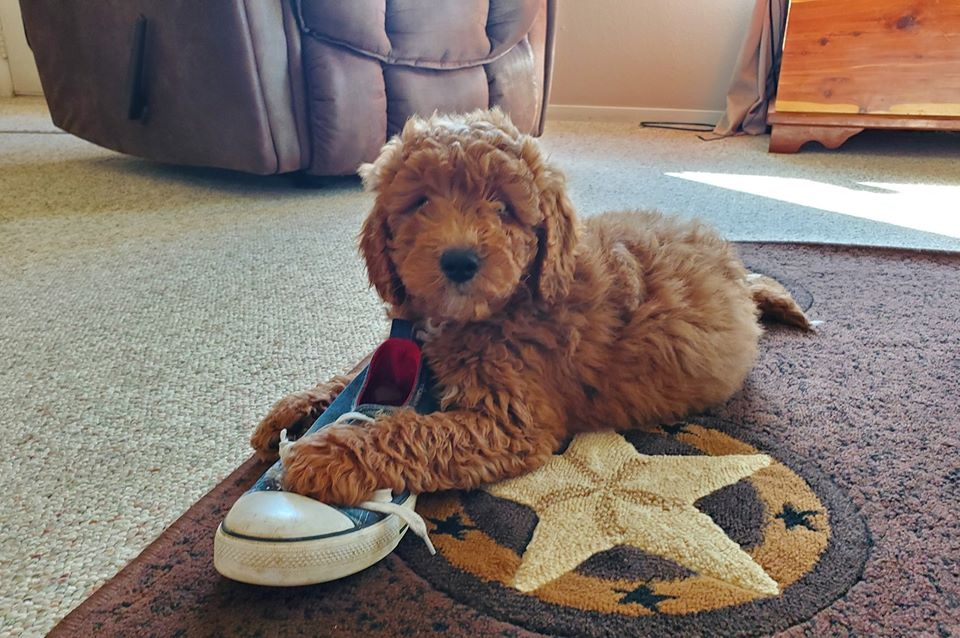 goldendoodle puppy with sneaker shoe
