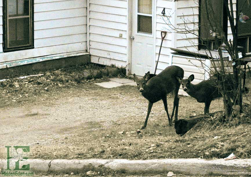 Deer in Downtown Huntsville