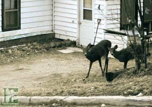 deer on lawn in downtown Huntsville
