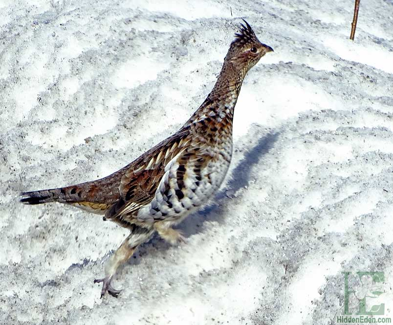 Ruffed Grouse In The Snow