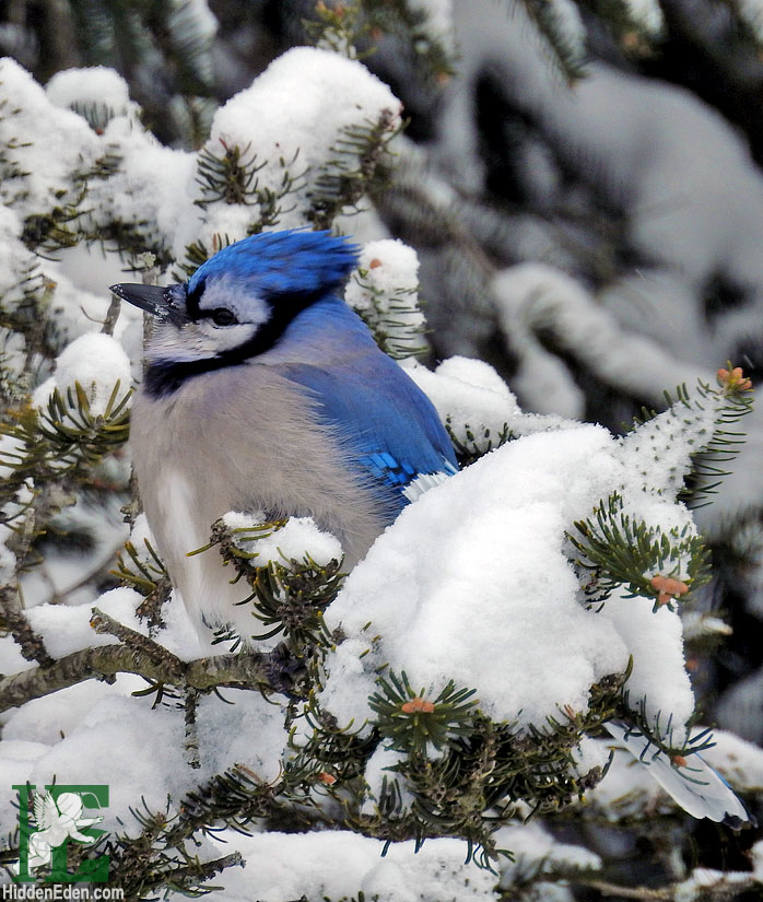 Muskoka winter blue jay in the snow
