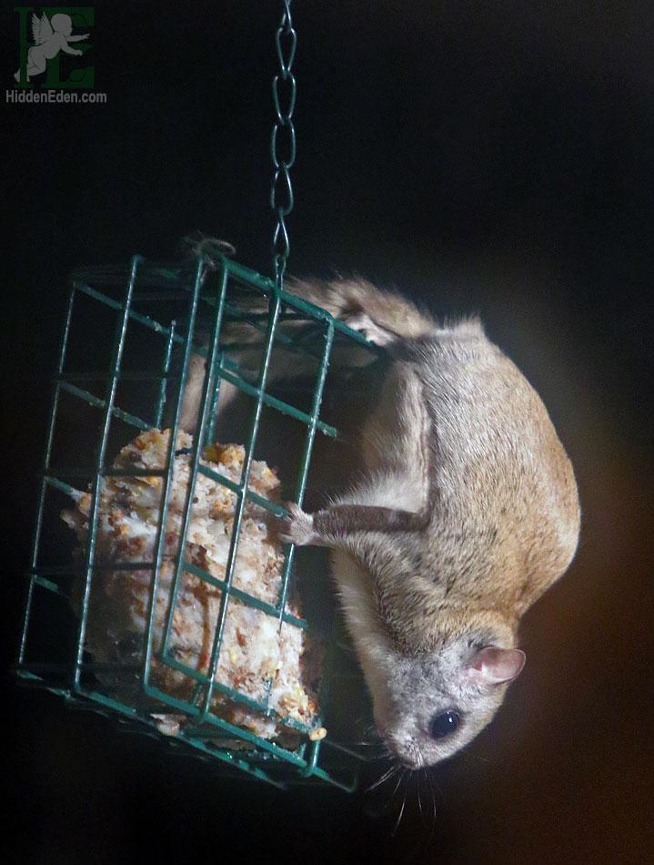 Muskoka flying squirrel on bird feeder