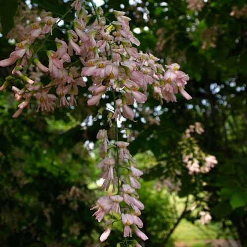 Perkin's Pink (Yellowwood)