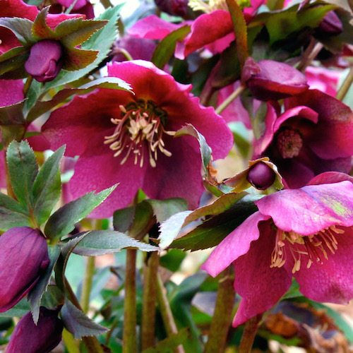 Red Lady (Helleborus)