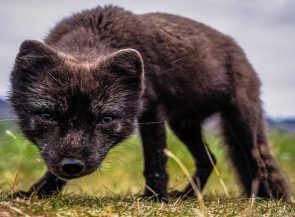 Icelandic Arctic Fox   Hidden Iceland   Photo by Marcus Hoey