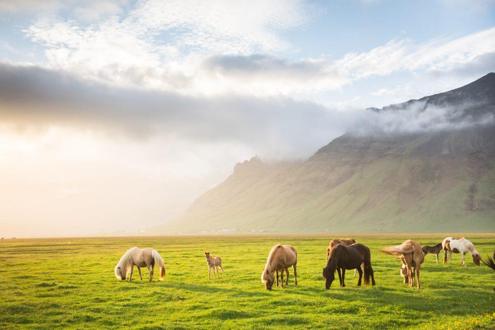 Icelandic Horse | Hidden Iceland | Photo by Tom Archer