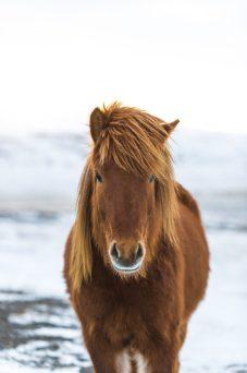 Icelandic Horse at Friðheimar Farm   Hidden Iceland   Photo by Brendan Bannister