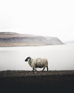 Sheeps in Westfjords of Iceland | Hidden Iceland | Photo by Norris Niman