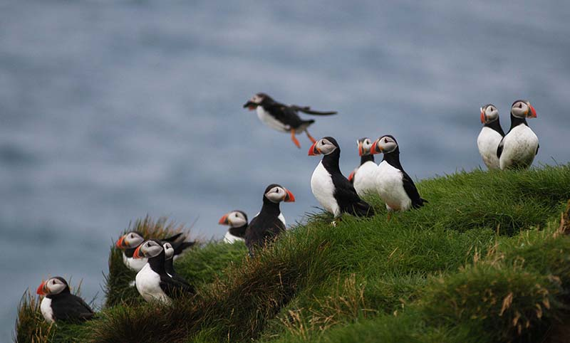 Whale and Puffin tour | Hidden Iceland
