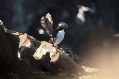 Puffin | Hidden Iceland | Photo North Sailing