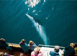 Minke Whale | Hidden Iceland | Photo North Sailing