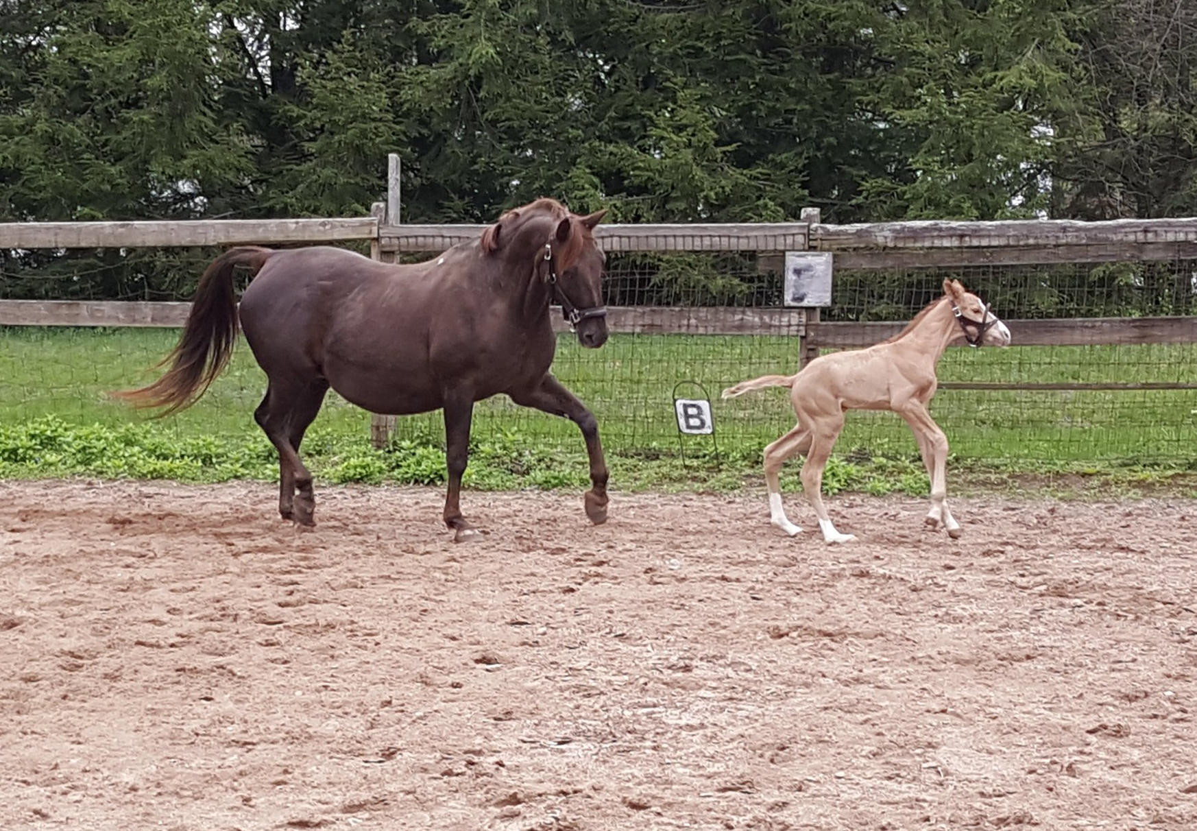 A chestnut mare and her filly