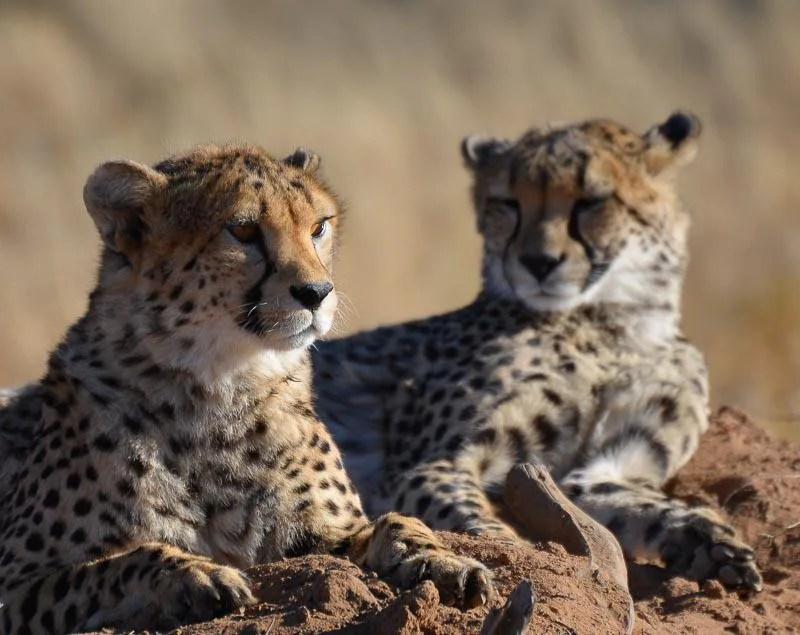 Chilling Cheetahs in Namibia Safari