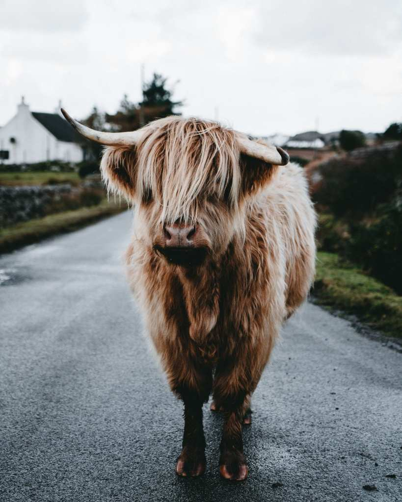 Highland Cow Isle of Mull