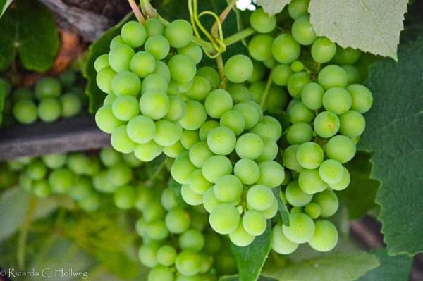 Weintrauben in Piran