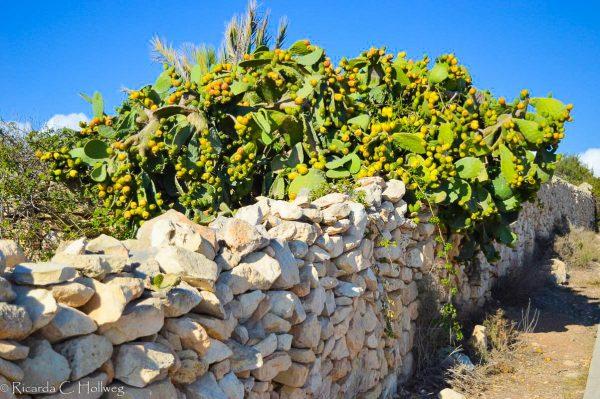 Kaktusfeige Malta