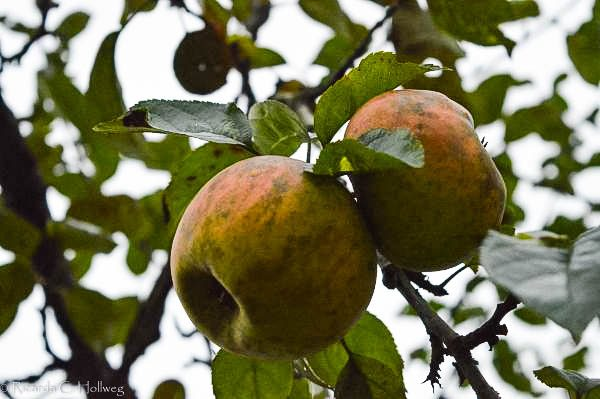 Äpfel von Schloss Schleißheim