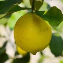 Wachsende Zitrone am Gardasee
