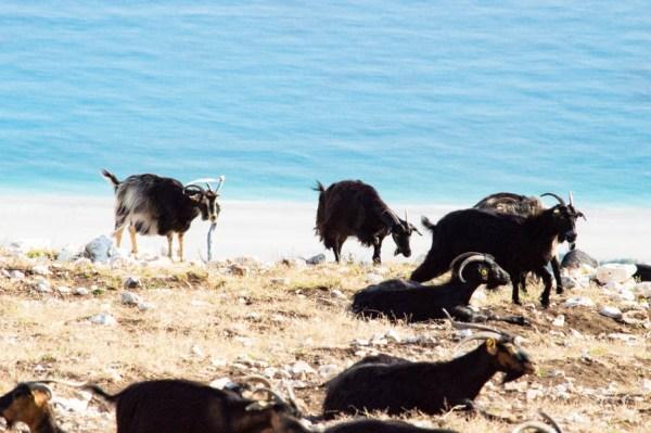 Ziegen über türkisblauem Meer in Albanien