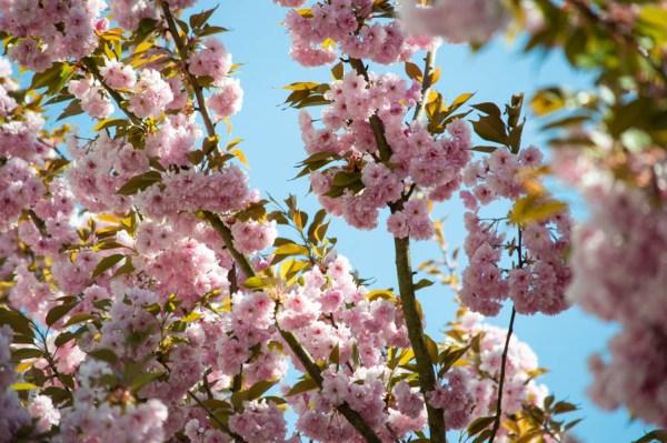 Kirschblüten im Leinleitertal