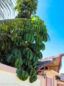 Garden Plant at Maafushi