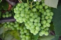 Grapes growing in Piran