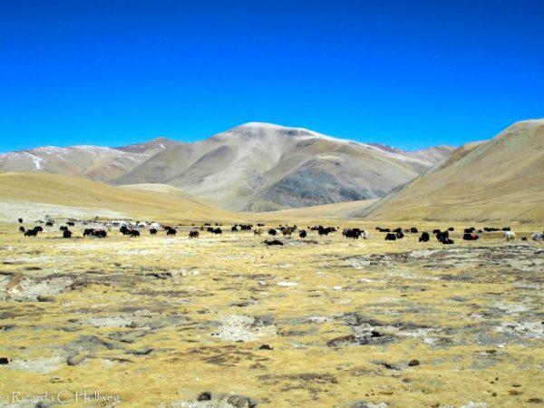 Herd of yaks in Everest National Park